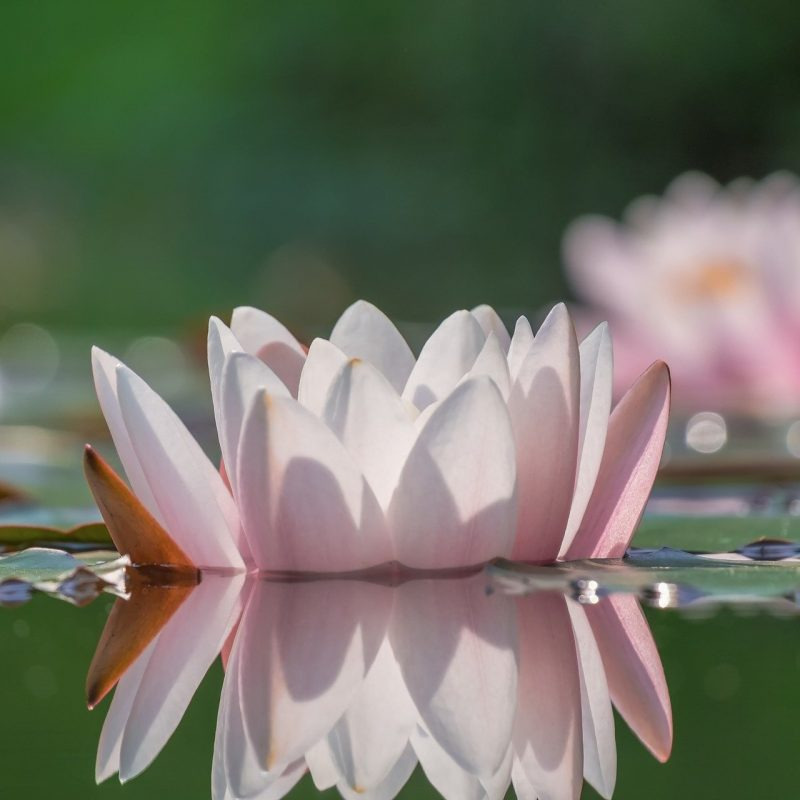 water-lily-4597058_1920